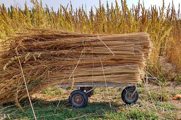 Harvest-Hemp